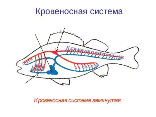 замкнутая кровеносная система это