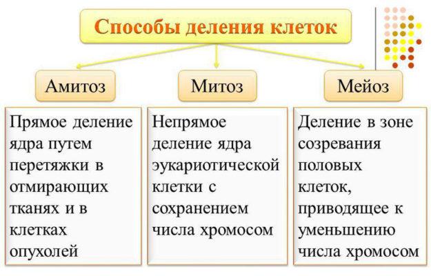 митоз амитоз и мейоз