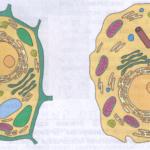 Животная и растительная клетка
