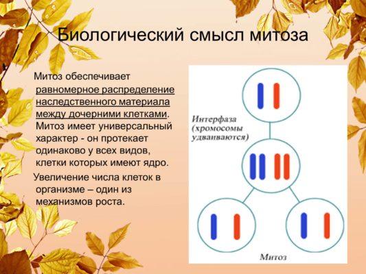 типы деления клеток митоз и мейоз