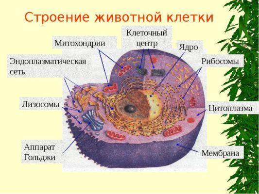Животная и растительная клетка: в чем сходство и различие, сравнительная характеристика